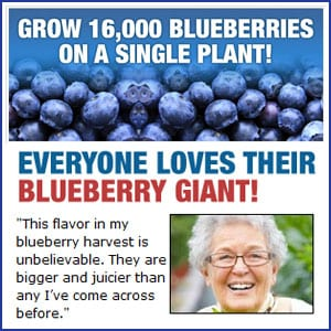 Does Little Giant Blueberries really work?