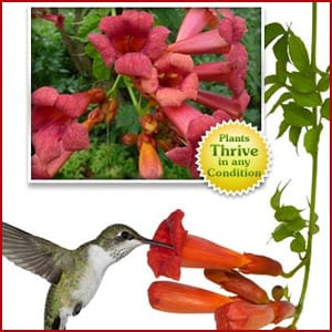 Does the Hummingbird Vine work?